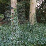 Rampant Ivy
