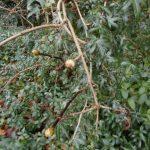 Ivy smothering Viburnum