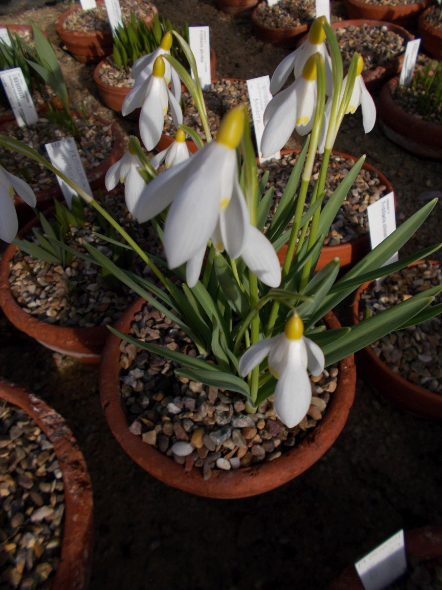 Galanthus nivalis 'Sandersii'