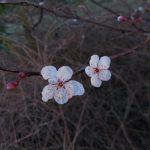 Prunus cerasifera 'Diversifolia'