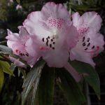 Rhododendron hunnewellianum ssp. hunewellianum
