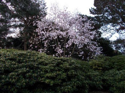 Magnolia sprengeri var. elongata