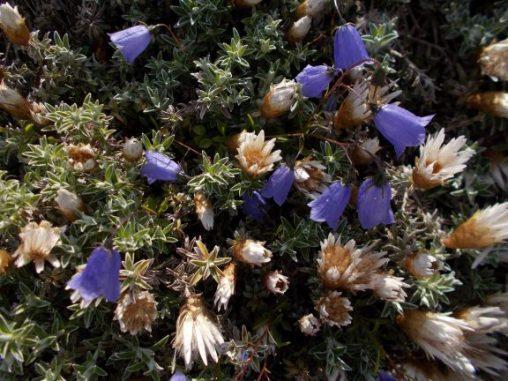 Helichrysum retortoides and Campanula cochlearifolia
