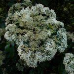 Sambucus racemosa ssp. racemosa