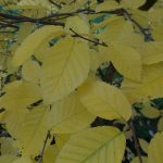 Betula alleghaniensis