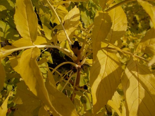 Fraxinus angustifolia ssp. angustifolia