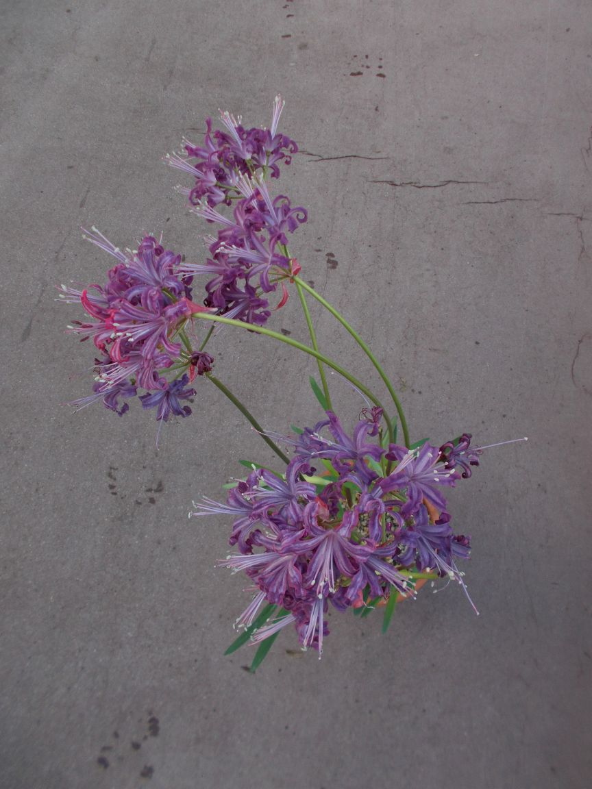 Nerine 'Quest'