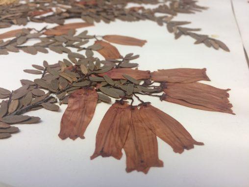 Ericaceae of Australia
