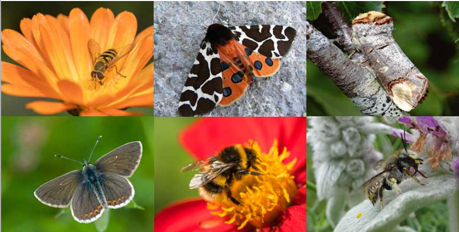 PIctures of 6 pollinators found in Edinburgh
