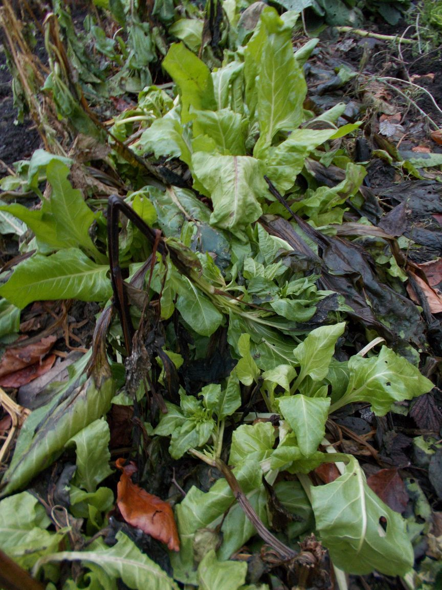 Spinach following winter