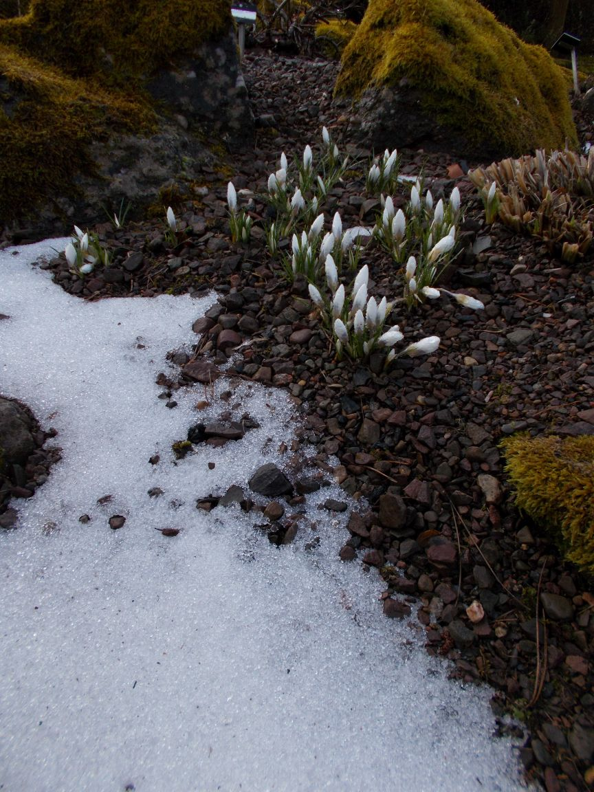 Crocus chrysanthus 'Snow Bunting'