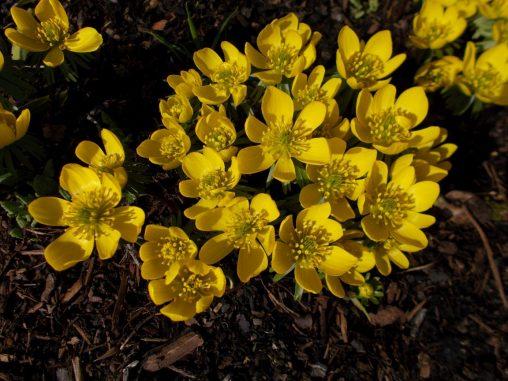 Eranthis hyemalis 'Guinea Gold'
