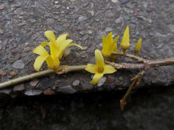 Forsythia giraldiana