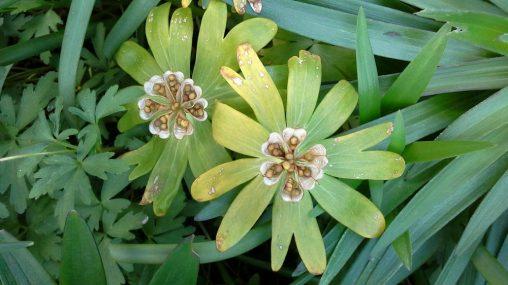 Eranthis hyemalis seed