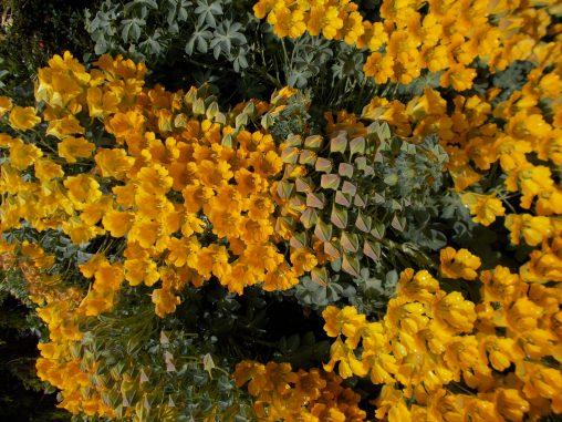 Tropaeolum polyphyllum