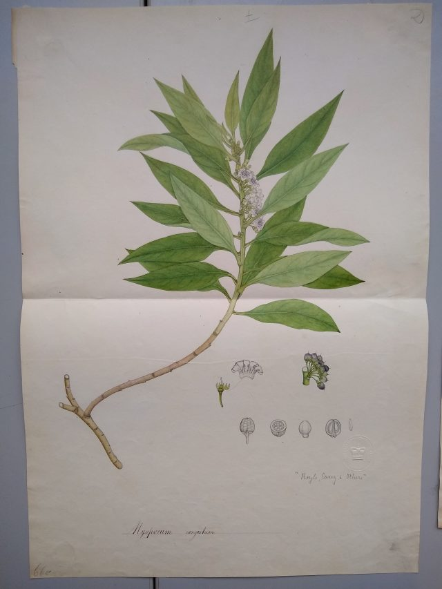 Francis Buchanan's Bengal Survey botanical drawings and specimens