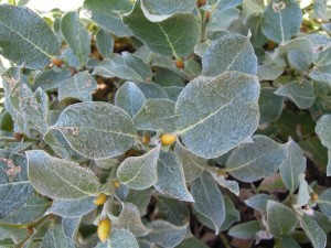 Salix lanata