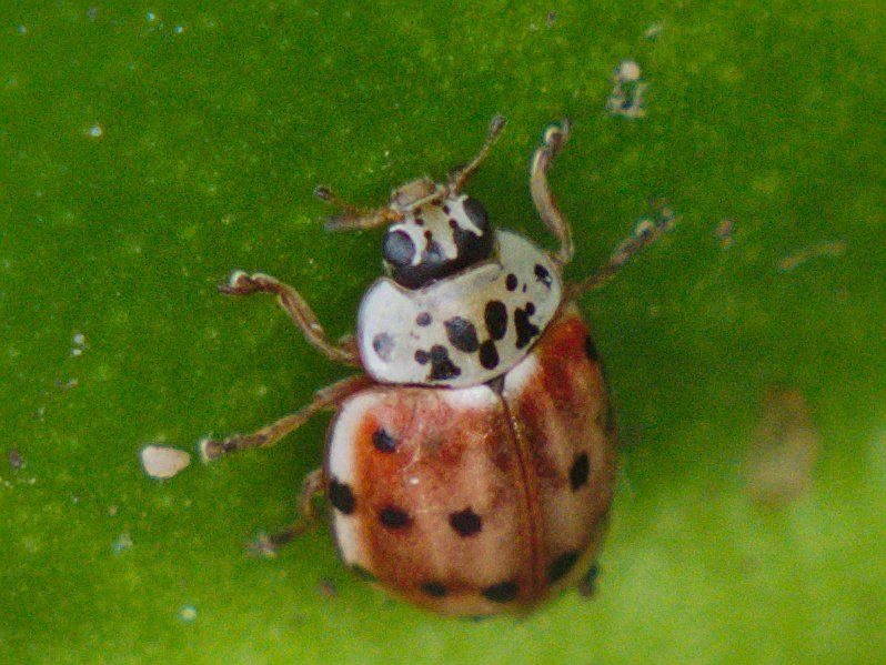Cream-streaked Ladybird (Harmonia quadripunctata), photographed on 23 September 2019.
