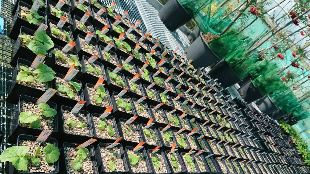 Image shows a block of black plant pots with healthy seedlings growing in a gravelly medium. Some red-berried saplings are behind.