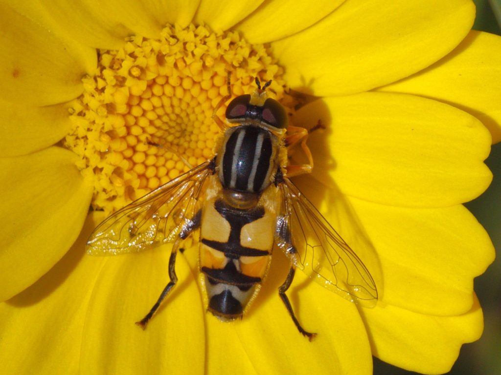 Large Tiger Hoverfly (Helophilus trivittatus),  photographed on 17 September 2019.