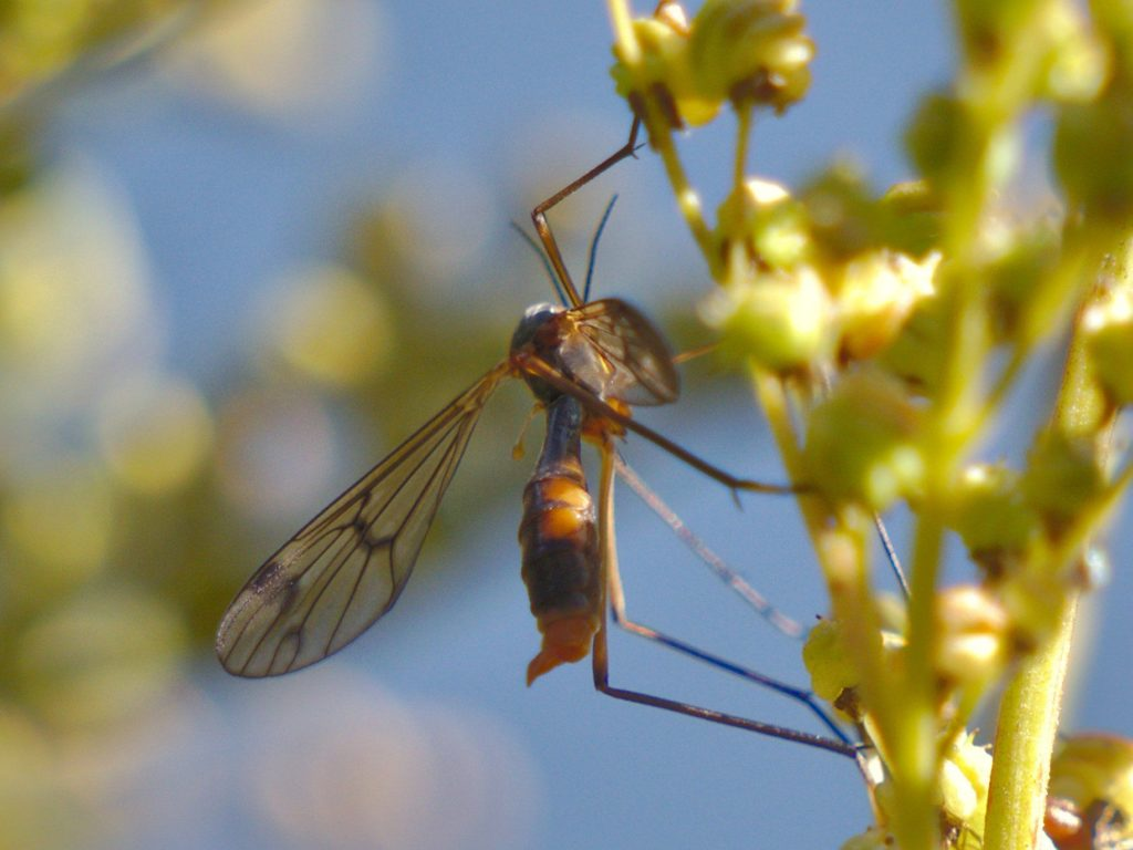 Phantom cranefly Ptychoptera albimana, photographed on 28 September 2019.