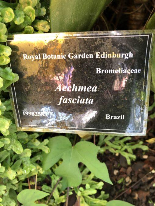 Aechmea fasciata specimen label