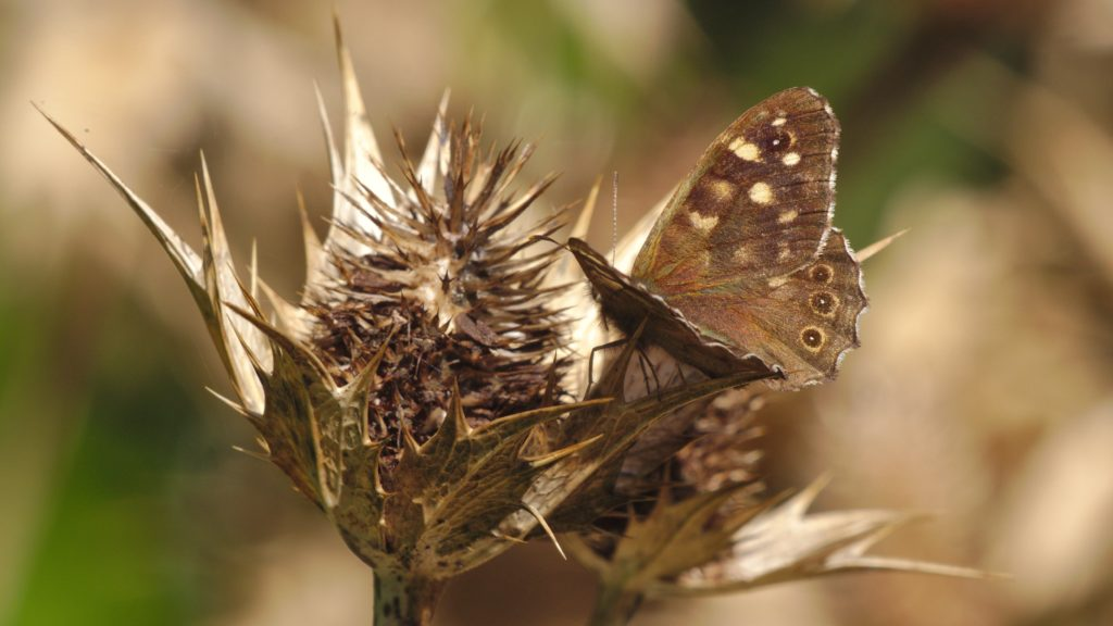 A study in brown and cream - a brown Speckled Wood butterfly with cream spots on the wings, on a brown, dead sea-thistle flowerhead