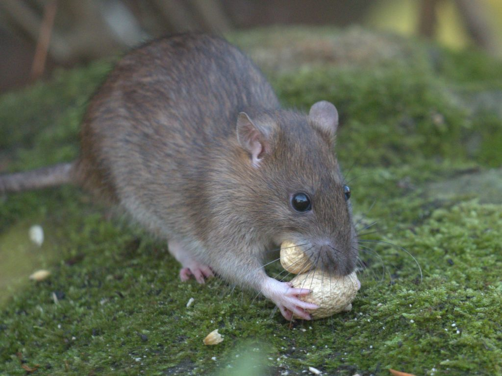 Brown Rat eating what looks a peanut on a mossy surface.