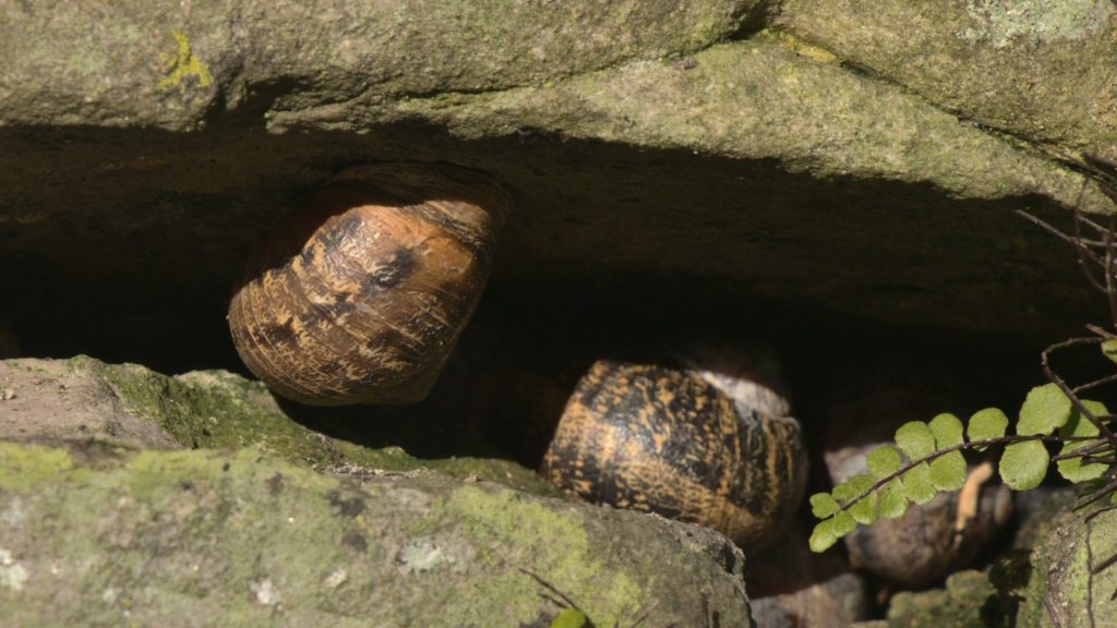 Two Garden Snails sheltering in a crevice