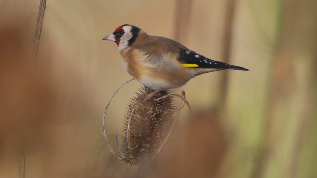 Goldfinch perched on top of a teasel head against a blurred background