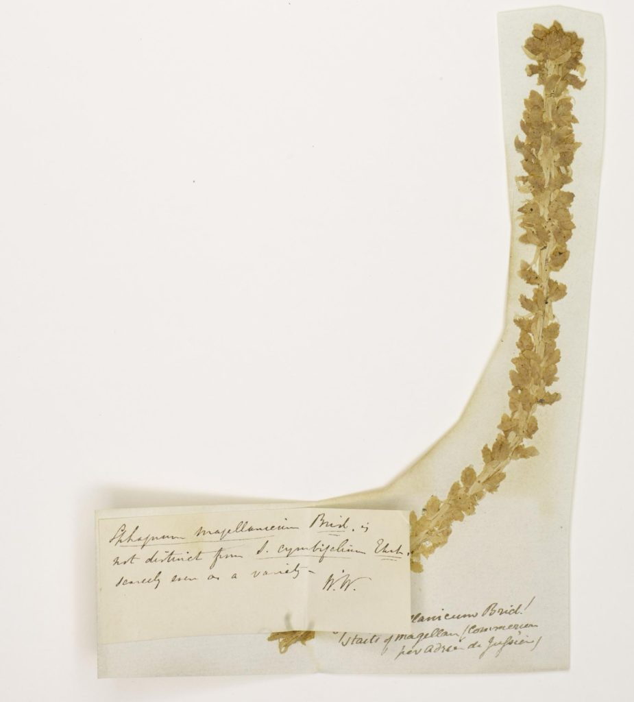 Commerson's herbarium type specimen of Sphagnum magellanicum, collected in 1767