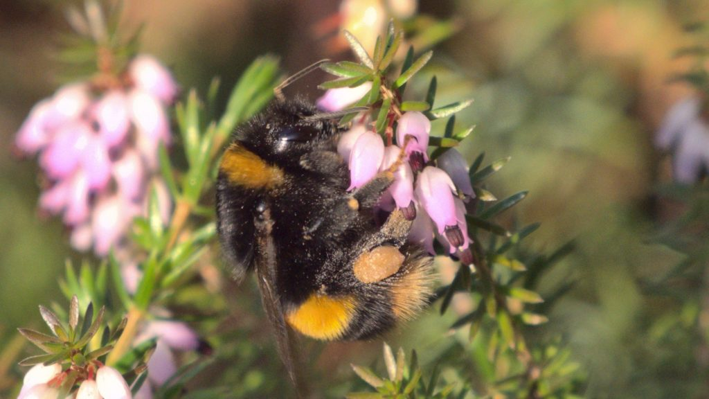 A large black-and-yellow bumblebee feeding on pink heather flowers at the edge of the Scottish Heath Garden.