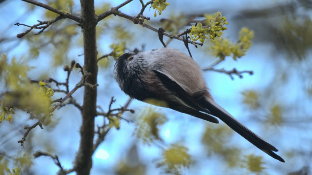 Long-tailed Tit hanging upside-down on a branch.