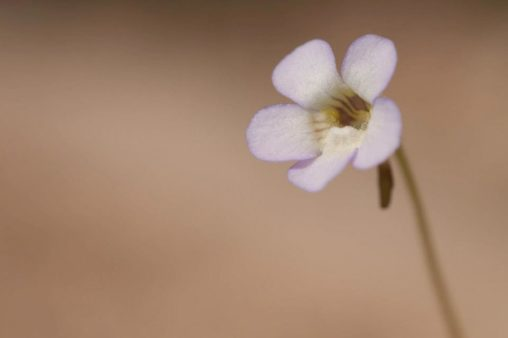A close-up image of a small flower with five pale lilac petals.