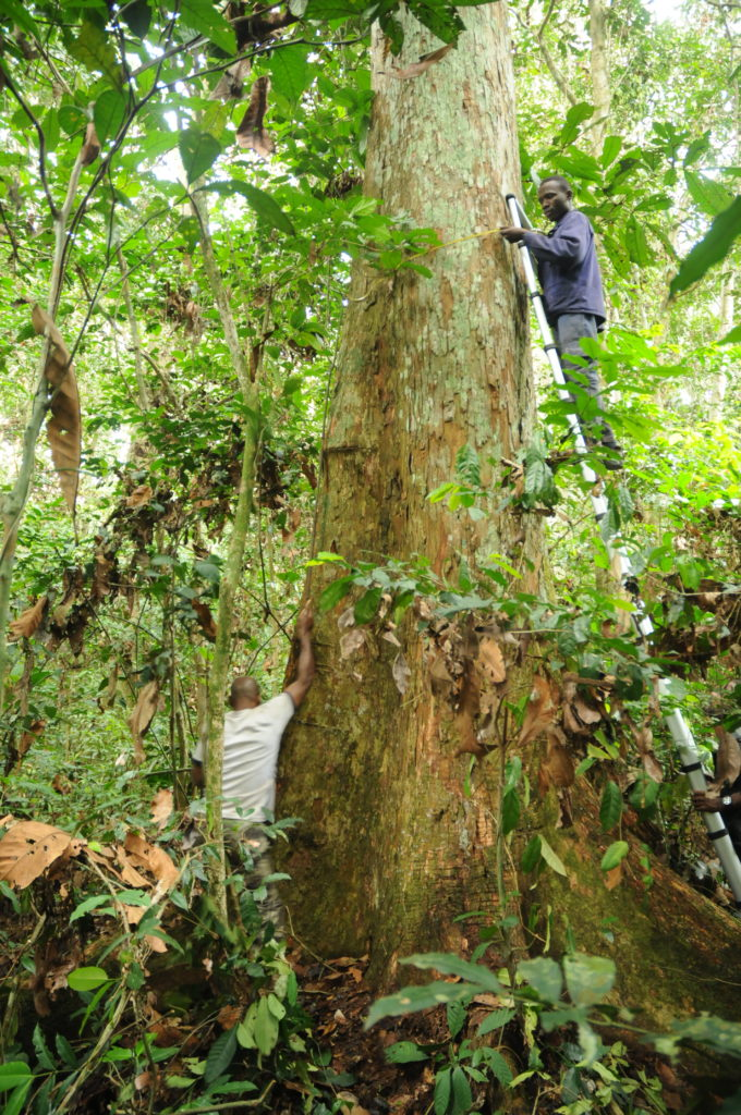 A large rainforest tree, with a ladder balanced against it, on which a man is standing using a tape to measure the girth of the tree