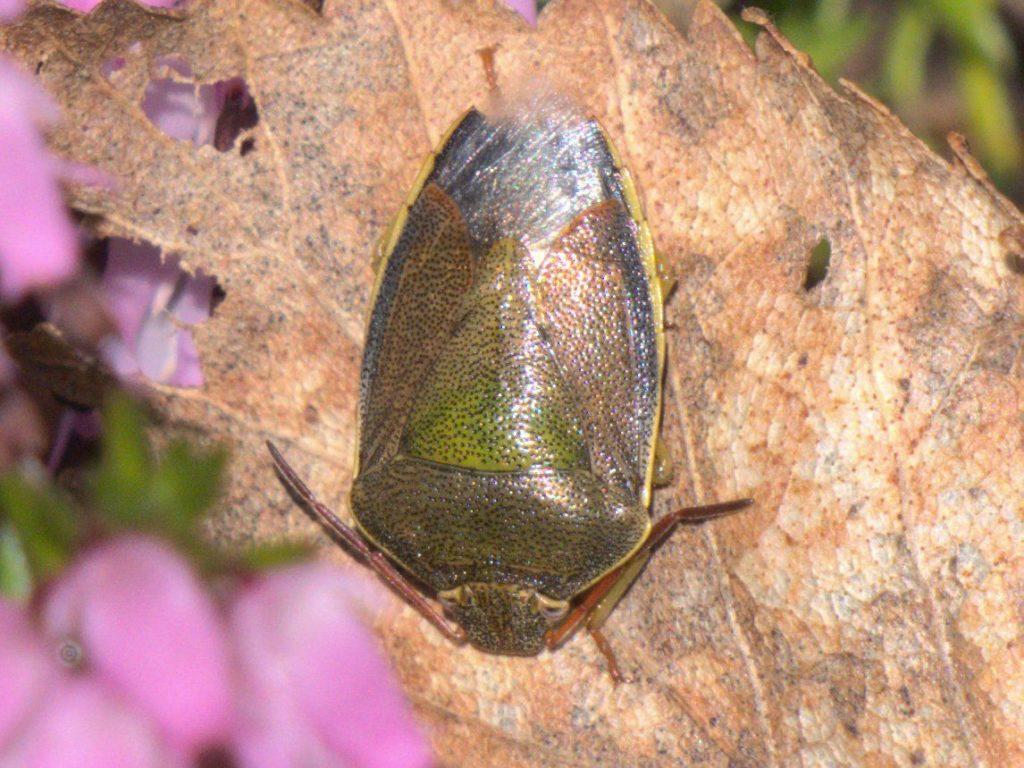 A brown shield-bug on dead leaf next to some out-of-focus pink heather-like flowers (in bottom left corner). The bug is facing head downwards with the broadest part at the shoulders just below the head, and the abdomen tapering to the base (at the top of the photo). Brownish with a triangular green mark at the top of the abdomen, below the 'shoulders'.