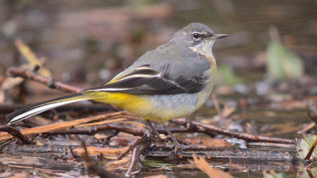 Photo shows a Grey Wagtail on leaf litter in the Garden. Head and back slate grey, breast whitish with slight yellow tinge, belly white, changng to bright yellow under the tips of the wigs and below the long tail.