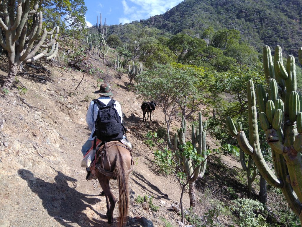 Man riding a mule surrounded by cacti on a steep mountain slope.