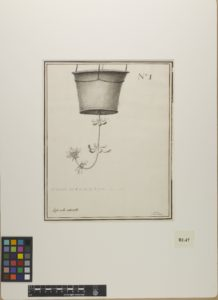 A historical illustration of a plant suspended in its pot, upside down and hanging from rope. The plant is growing in a bent manor back upwards from its position. On cream parchment paper in ink, charcoal and watercolour.
