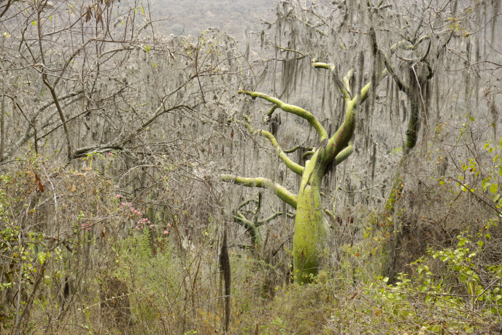 "One of the world's ""forgotten forests"" - tropical dry forest in Piura Province, Peru."