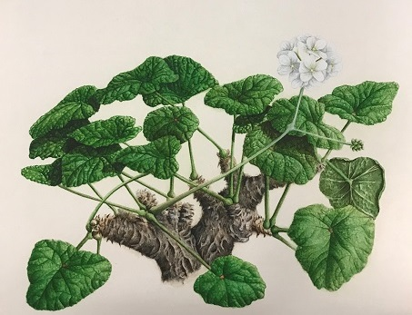 Image of drawing of Pelargonium cotyledonis