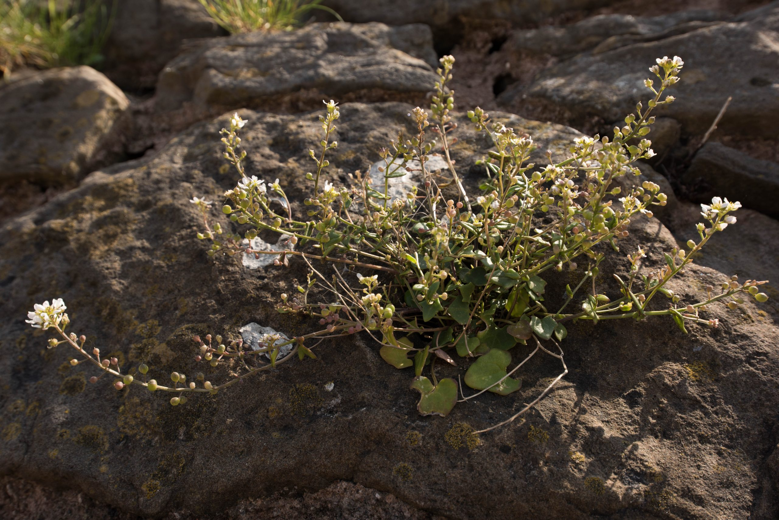 A large rock with a spindly, multi stemmed, white flowering succulent Scurvy grass plant growing on the top.