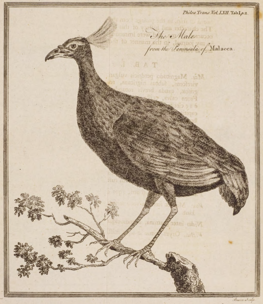 Drawing of the Rouloul bird