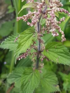 A close up image of the green leaved nettle plant flowers which are a delicate pink and whte colour growing in drupelets from the main stem.