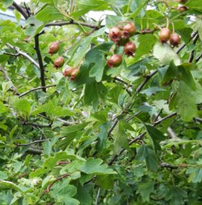 This is picture of the small green leaved Crataegus with some branches bearing the umber coloured developing red fruit capsules of the plant.