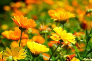 pictured are a mass of brightly coloured, orange and yellow daisy like flowers with tall stems