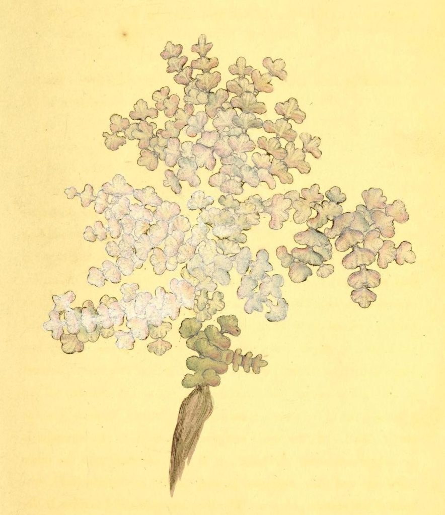 Drawing of Corallina opuntia