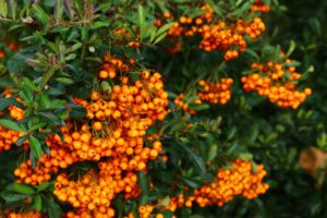 An image featuring some branches of the Sea buckthorn plant with small green lanceolate leaves and many bright orange pendulous berries hanging in bunches from the tips of the branches.