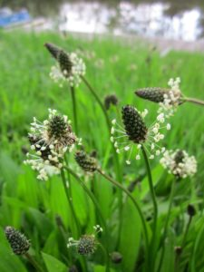 Image show the delicate flower heads of the plantain which are mounted on the tip of long thin stems and are single small dark cones surrounded with a whorl of small spindly stemed white flowers