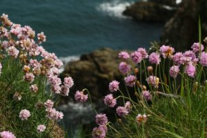 A rocky outcrop covered with the green stemmed, pink round pom pom headed flowers of the Trift plant